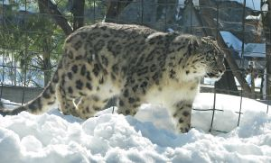Snow Leopard Stock 1 by HOTNStock
