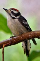 Downy woodpecker chick by clippercarrillo