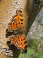 Polygonia c-album by Insect-Lovers-Club