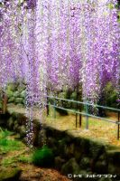 Wisteria by WindyLife