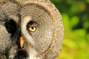 Tje Great Grey Owl by SaraJArts