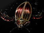 Water beetle by SofiettaG