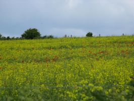 Poppy and rapeseed flower field stock 3 by Sassy-Stock