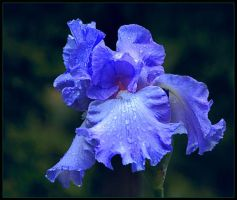 BLUE MONDAY IRIS by THOM-B-FOTO