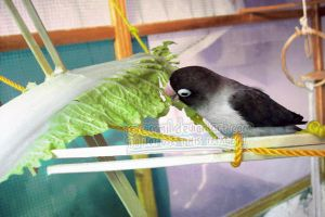 Pocky eating chinese cabbage by emmil