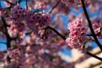 Cherry Blossoms by ninjapeps