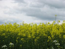 Oil Seed Rape by pictsy