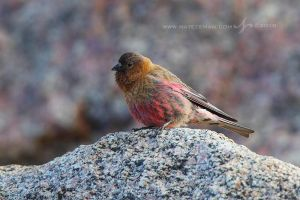 Brown-Capped Rosy Finch by Nate-Zeman