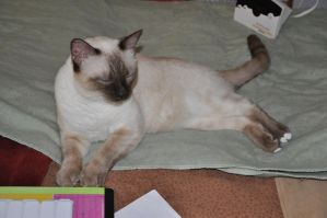 Robriel-Stock Siamese Cat - 6 by Robriel-Stock