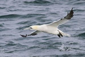 Gannet by mydigitalmind