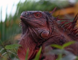 Red Iguana by jramey