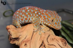 Eezo the Tokay by Dachindae