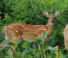 Baby Buck Whitetail Fawn  II by natureguy