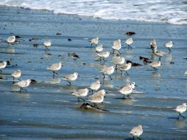 March of The Sandpipers by roamingtigress