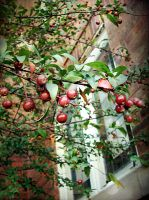 Crabapples by angelandspot