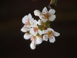 Pear Blossom 06 by botanystock