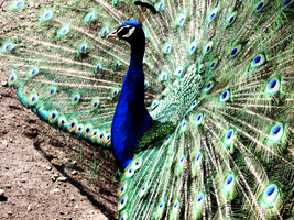 peacock by Dixery