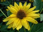 Heliopsis helianthoides by MrBeholder