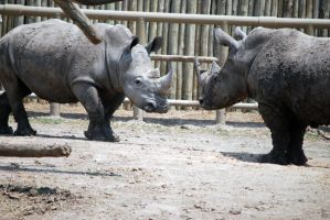 Houston Zoo - Rhinos by BPHaines