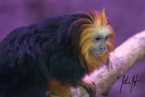 Primate considered Lesser by laOMmer