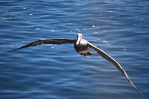 brown pelican 5.1 by meihua-stock