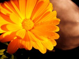 Orange Flower V by MadeleineAlana