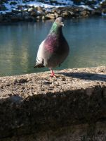 Pigeon by juditithil