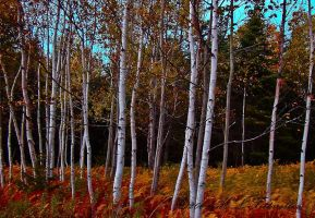 birch patch by ogiedomane
