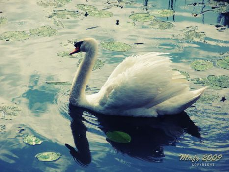 Lake Swan by Amy7091
