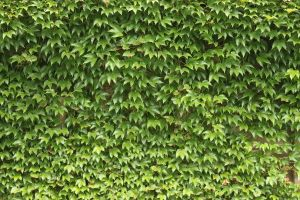 Ivy Texture - 2 by AGF81