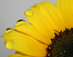 sunflower drops by Rippah2