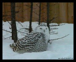 Snowy Owl In Snow II 132 by caybeach