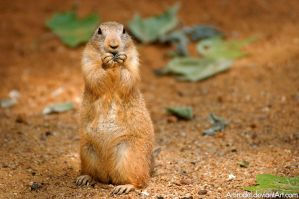 Prairie Dog by amrodel
