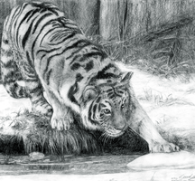 Final Project - Tiger Drawing by ButtercupBabyPPG