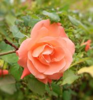 Another lovely Rose by Rozrr