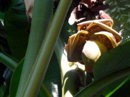 Banana Flower by Winnoy