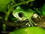 Leptopelis Vermiculatus by Peak032