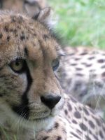 Cheetah closeup by Kitsumeo