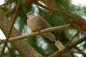 Eurasian Collared Dove by Modernmyth6277