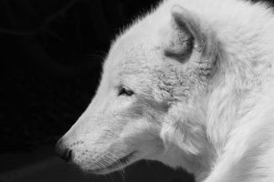 White Wolf by I-Heart-Photos