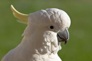 Sulphur Crested Cockatoo 174 by chezem