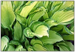 Hosta leaves by miss-gardener