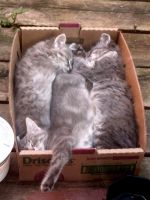 Box of gray kittens by Ripplin