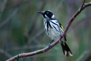 New Holland Honeyeater 3 by AdamsWife