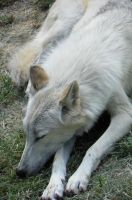 Gray Wolf napping in summer by DingoDogPhotography