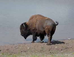 Thirsty  Bison by rmbastey