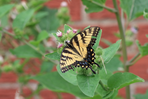 Eastern Tiger Swallowtail 5 by Gerryanimator