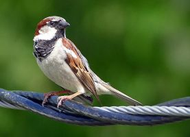 House Sparrow by Goodbye-kitty975