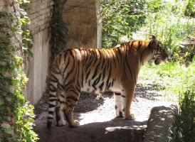 Amur Tiger Stock 8 by HOTNStock