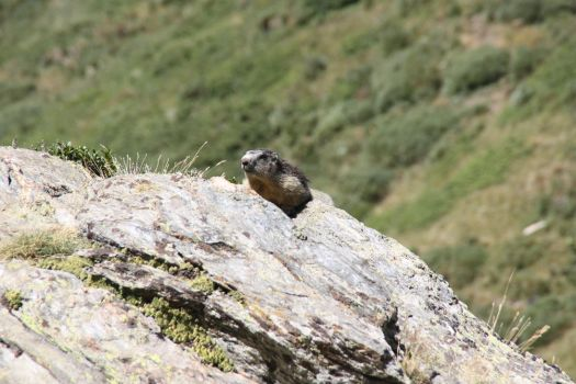 Marmot on the mountain by SinAel76